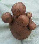 Aardappel.jpg