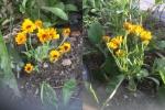 Meerdere goudsbloemen uit één hart.jpg